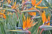 Bird of paradise flowers. — Stock Photo