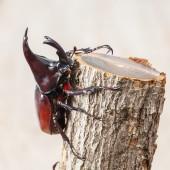 Fighting beetle — Stock Photo