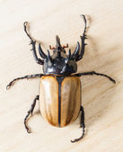 Yellow five horned beetle — Stock Photo