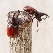 Fighting beetle — Stock Photo