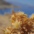 Dried burdock on the shore of the sea. — Stock Photo #52630345
