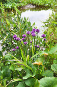 盛开的野葱 — 图库照片