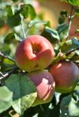Apples ripen on the trees.  — Stock Photo