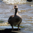 Grey geese in the pasture with young goose — Stock Photo #67001705