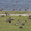 Grey geese in the pasture with young goose — Stock Photo #67002725