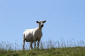 Sheep on the dike — Stock Photo