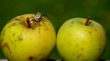 Spider Argiope bruennichi and apple. — Stock Video