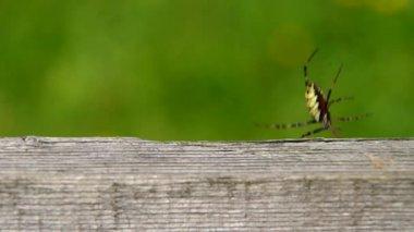 Spider Argiope bruennichi and wooden board — Stock Video