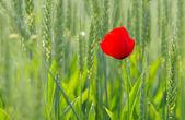 Corn poppy in wheat field — Stock Photo