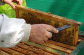 Beekeeper checking honeycomb — Stock Photo