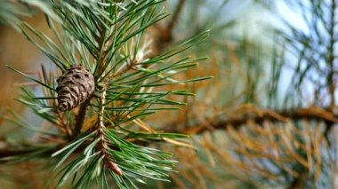 Cone on a pine tree — Wideo stockowe
