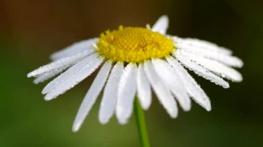 Morning dew on a camomile — Stock Video
