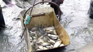 Man loaded the fish into the container — Stock video