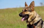 Portrait of German Shepherd dog — Stock Photo