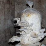 Oyster mushroom — Stock Photo #59773411