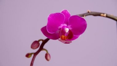 Pink orchid flower — Stock Video