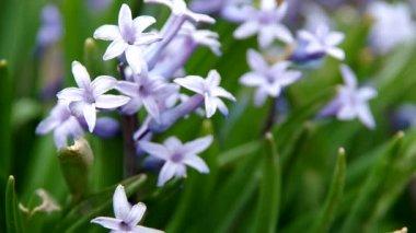 Весна фиолетовые цветы — Стоковое видео