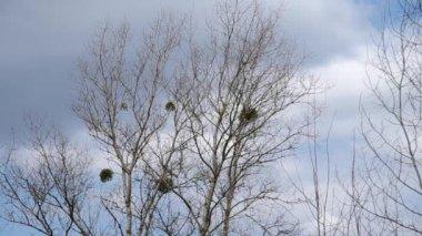 Mistletoe in the trees — Stock Video