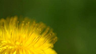 Yellow dandelions in the wind — Stock Video