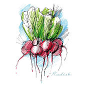 Bunch of fresh radish drawn with watercolor pencils and ink — Stock Vector