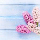 Tender pink hyacinths — Stock Photo