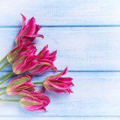 Tulipany wiosna różowy — Zdjęcie stockowe