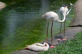Three greate flamingo — Stock Photo