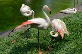 Group of a greater flamingo — Stock Photo