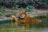 Tiger in water — Stock Photo