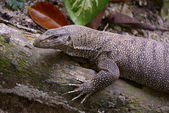 Clouded monitor lizard — Stock Photo
