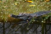 False gharial — Stock Photo