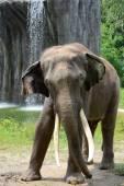 Słoń indyjski — Zdjęcie stockowe