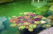 Rybník s lekníny v parku rybník — Stock fotografie