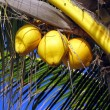 Three yellow coconuts on the palm tree under the summer blue sky in Mauritius — Stock Photo #70327187