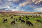 A herd of sheep and goats grazing near the lake at the foot of t — Stock Photo
