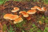 Poisonous fungus — Stock Photo
