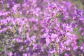 Pink spring flowering shrub, Rhododendron Ledebour — Stock Photo