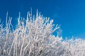 Snowy trees over blue sky — Stock Photo