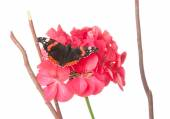 Admiral butterfly on a geranium flower isolated on white — Foto de Stock