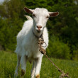 Goat on a green pasture. Looking into camera — Stock Photo #57968567