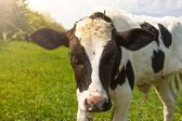 Little calf standing alone in green pasture — Stock Photo