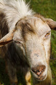 Portrait of a goat with a beard on a green pasture — Stock Photo