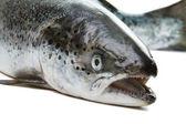 Salmon isolated on white background. — Stock Photo