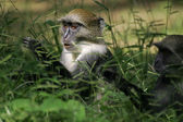 Blue monkeys in the grass — Stock Photo