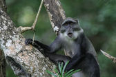 Blue monkey on tree branch — Stock Photo