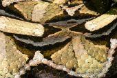 Gabon viper — Stock Photo