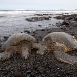 ������, ������: Green sea turtle on beach