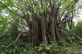 Banyan fig tree — Stock Photo