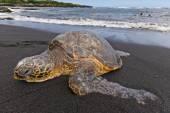 Sea turtle on beach — Stock Photo
