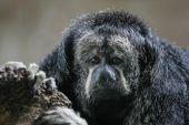 Monk Saki Monkey — Stock Photo